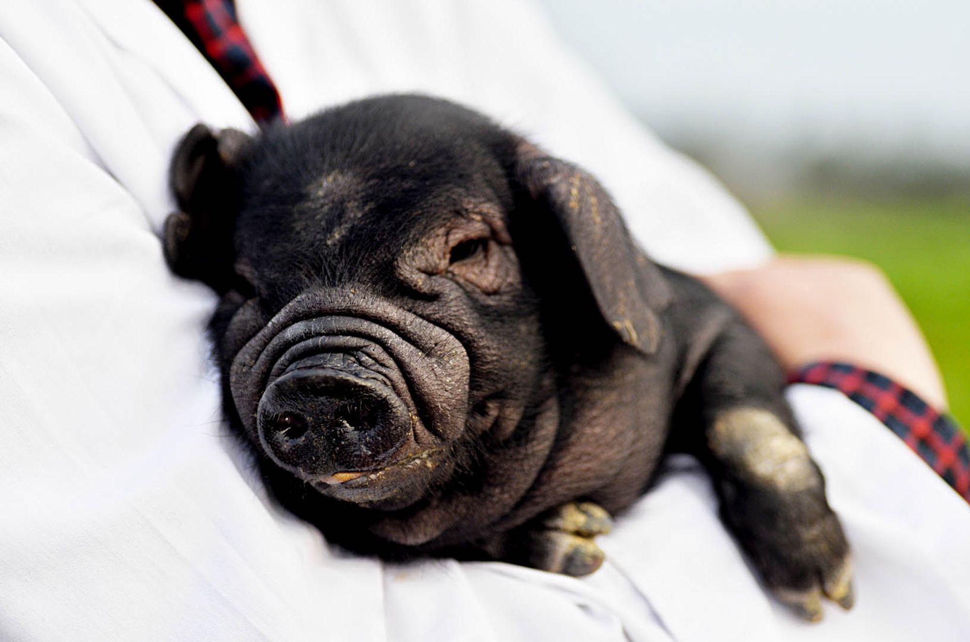 我可是傲娇的保种猪,我家李猪倌可爱我了,是我的迷弟.
